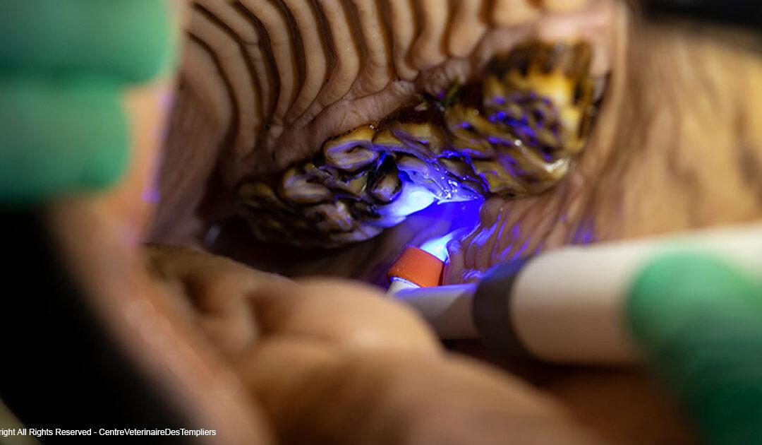 Pourquoi les dents de votre cheval ne sont pas les mêmes que les vôtres ou celles de votre animal de compagnie ?