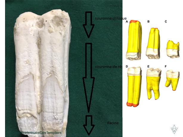 dent-de-cheval-couronne