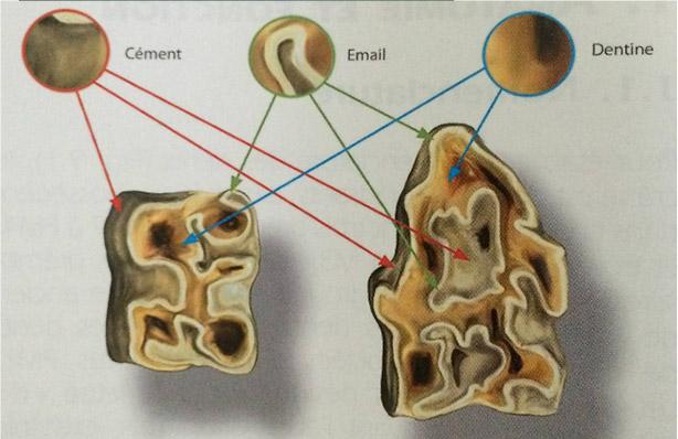composantes d'une dent de cheval